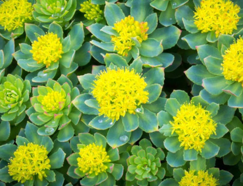 Rhodiola Rosea – All Natural Adaptogen and Nootropic